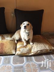 Young Male Purebred Cardigan Welsh Corgi | Dogs & Puppies for sale in Nairobi, Embakasi