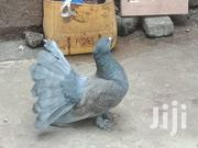 Fantail Pigeions | Birds for sale in Nairobi, Dandora Area III