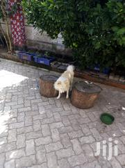 Young Male Purebred Chihuahua | Dogs & Puppies for sale in Machakos, Syokimau/Mulolongo