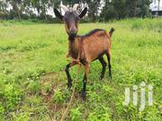 Alpine Dairy Goat,17months Old | Other Animals for sale in Kiambu, Kikuyu