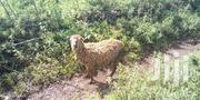 Sheep Almost Giving Birth | Other Animals for sale in Nandi, Kapsabet
