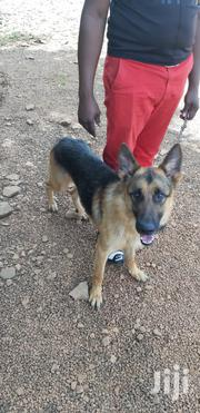 Adult Male Purebred German Shepherd Dog | Dogs & Puppies for sale in Kiambu, Thika