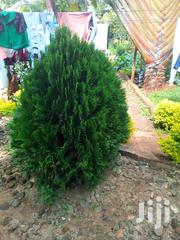 Thuya Ornamental Cider | Feeds, Supplements & Seeds for sale in Nyeri, Karatina Town