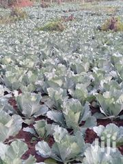 Gloria Cabbage | Feeds, Supplements & Seeds for sale in Trans-Nzoia, Kaplamai