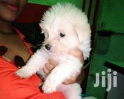 Young Male Purebred Maltese | Dogs & Puppies for sale in Nairobi, Mowlem