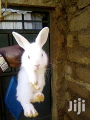 Rabbits For Sale | Livestock & Poultry for sale in Nairobi, Kawangware