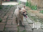 Young Female Purebred Japanese Spitz | Dogs & Puppies for sale in Nairobi, Karen
