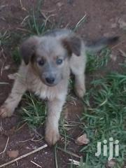 Baby Male Mixed Breed | Dogs & Puppies for sale in Kiambu, Kabete