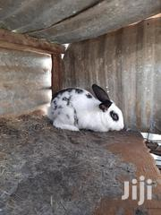 Male And Female Rabbits For Sale | Other Animals for sale in Machakos, Athi River