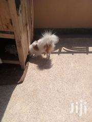 Adult Female Purebred Japanese Spitz | Dogs & Puppies for sale in Kajiado, Kitengela