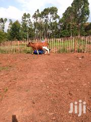 Good Cow For Breeding In Calf Seven Months On Sell | Other Animals for sale in Trans-Nzoia, Cherangany/Suwerwa