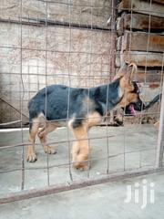 Young Female Purebred German Shepherd Dog | Dogs & Puppies for sale in Kajiado, Ongata Rongai