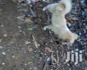 Senior Male Mixed Breed Chihuahua | Dogs & Puppies for sale in Mombasa, Bamburi