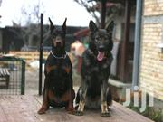 Adult Male Purebred Doberman Pinscher | Dogs & Puppies for sale in Nairobi, Nairobi Central