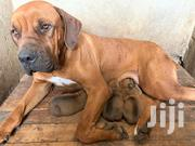 Boerboel Pup | Other Animals for sale in Kajiado, Ongata Rongai