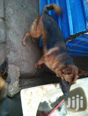 Adult Male Purebred German Shepherd Dog | Dogs & Puppies for sale in Nairobi, Roysambu