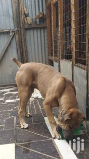 Young Male Purebred Boerboel | Dogs & Puppies for sale in Nairobi, Harambee