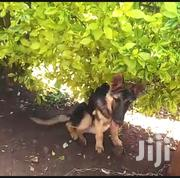 Young Female Purebred German Shepherd Dog   Dogs & Puppies for sale in Nairobi, Nairobi Central