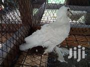 Frillback Pigeon | Birds for sale in Mombasa, Shimanzi/Ganjoni