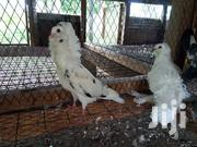 Capuchin Pigeon | Birds for sale in Mombasa, Shimanzi/Ganjoni