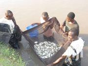 Tilapia Fingerlings On Sale | Livestock & Poultry for sale in Machakos, Tala
