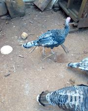 8 Months Old Male Turkey On Sale | Birds for sale in Nyeri, Karatina Town