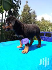 Baby Male Purebred Rottweiler | Dogs & Puppies for sale in Kiambu, Ruiru