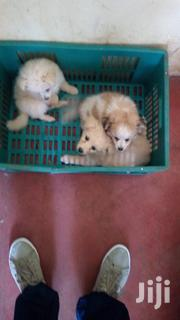 Young Female Purebred Japanese Spitz | Dogs & Puppies for sale in Machakos, Syokimau/Mulolongo