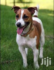Jack Russell Pure Dog Breed | Livestock & Poultry for sale in Kitui, Township