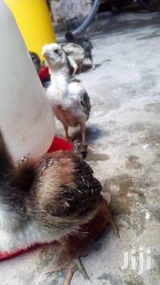 Kuchi Chicks | Livestock & Poultry for sale in Mombasa, Mji Wa Kale/Makadara