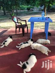 Chiwawas   Dogs & Puppies for sale in Mombasa, Bamburi