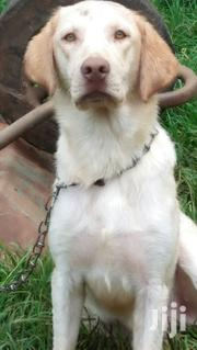 Adult Male Purebred Labrador Retriever | Dogs & Puppies for sale in Nairobi, Nairobi Central