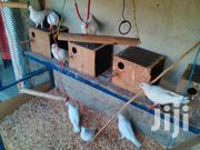 Pure White Breed Pigeons | Birds for sale in Machakos, Athi River