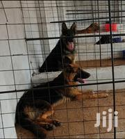 Young Male Purebred German Shepherd Dog | Dogs & Puppies for sale in Mombasa, Bamburi
