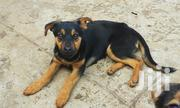 Young Female Mixed Breed German Shepherd Dog | Dogs & Puppies for sale in Nairobi, Woodley/Kenyatta Golf Course