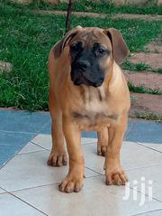 Baby Female Purebred Boerboel | Dogs & Puppies for sale in Nairobi, Kahawa West