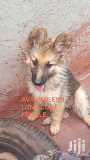 Baby Female Purebred German Shepherd Dog | Dogs & Puppies for sale in Kiambu, Ruiru