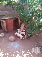 Baby Male Mixed Breed Boxer   Dogs & Puppies for sale in Taita Taveta, Kaloleni