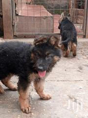 Baby Male Purebred German Shepherd Dog | Dogs & Puppies for sale in Kiambu, Ruiru
