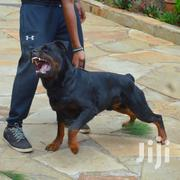 Baby Female Purebred Rottweiler | Dogs & Puppies for sale in Kiambu, Thika