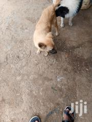 Young Male Mixed Breed Anatolian Shepherd Dog | Dogs & Puppies for sale in Nairobi, Kahawa West