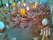 Layers And Egg Supplie | Livestock & Poultry for sale in Kisumu, Awasi/Onjiko