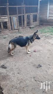 Adult Female Purebred German Shepherd Dog | Dogs & Puppies for sale in Nairobi, Karen