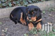 Young Female Purebred Rottweiler | Dogs & Puppies for sale in Baringo, Ewalel Chapchap