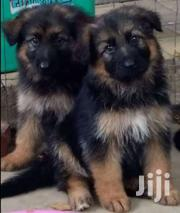 German Shepherd | Dogs & Puppies for sale in Nairobi, Embakasi