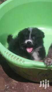 Baby Male Purebred | Cats & Kittens for sale in Nairobi, Nairobi Central