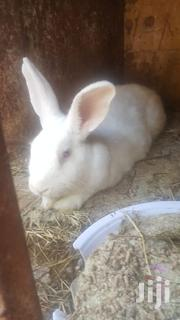 Mature Rabbits For Sale. | Livestock & Poultry for sale in Kiambu, Hospital (Thika)