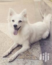 Adult Female Purebred Japanese Spitz | Dogs & Puppies for sale in Nairobi, Komarock
