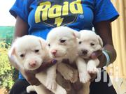 Young Female Mixed Breed Maltese | Dogs & Puppies for sale in Nairobi, Roysambu