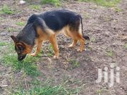 Young Female Purebred German Shepherd Dog | Dogs & Puppies for sale in Kiambu, Juja